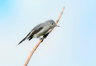 Blue-gray Gnatcatcher by Jackie B. Elmore 8-16-2017 Lincoln Co. KY