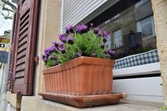 Lavender (petrOlly) Tags: europe europa germany deutschland speyer city flower flowers nature natura przyroda