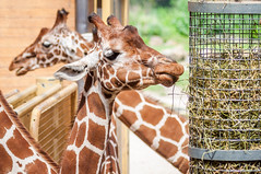 CR2017_0517_Blijdorp_2233 (Corry Rovers) Tags: blijdorp rotterdam zuidholland gewervelden giraffe zoogdieren