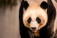 Panda Stare 3-0 F LR 8-13-17 J029 (sunspotimages) Tags: pandas panda bear nature nationalzoo zoo zoosofnorthamerica zoos wildlife washingtondc washington fonz fonz2017