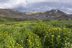 Mayflower Gulch WIldflowers (Aaron Spong Fine Art) Tags: mayflower gulch wildflowers landscape mountains fletcher peak colorado