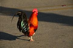 Key West (Sabreur76) Tags: keywest thekeys florida fl sabreur76 vicenç feliú vicençfeliú travel nikond7000 tamron18270 birds bird rooster