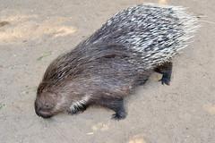 Stachelschwein (German Circle) Tags: stachelschweine stachelschwein porcupines porcupine tiere animals pig pork hog swine bastard