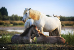Mom and Foal Basking in the Morning Sun (pbmultimedia5) Tags: white horses camargue southern france foal animal wildlife pbmultimedia rhone river delta regional nature park wetland