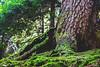 The old tree (Wine Dharma) Tags: the old tree natura nature albero foresta muschio corteccia forest valgardena trentinoaltoadige selva selvadivalgardena ladino winedharma