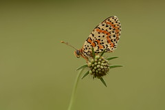 spotted fritillary - Melitaea didyma (willjatkins) Tags: spottedfritillary melitaea melitaeadidyma butterflies papillon papillonsdefrance butterfly butterfliesoffrance butterfliesofthedordogne lepidoptera frenchbutterflies frenchbutterfly fritillary closeupwildlife dordognewildlife wildlife wildlifeoffrance wildlifeofthedordogne bokeh macro macrowildlife nikond7100 sigma105mm