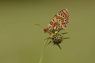 spotted fritillary - Melitaea didyma
