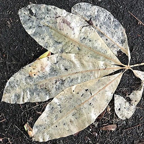 Worn lacy translucent wet leaves