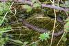 Adder - Viper berus - 2 (Matchman Devon) Tags: adder viper berus ringmore south hams devon tobys path