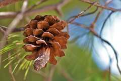 """Between every two pine trees there is a door to a new way of life. """"john Muir"""" (stellagrimsdale) Tags: pinecone conifer tree seeds green brown croatia nature bokeh flora macro"""