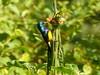 Cinnyris venustus ♂ (Luis G. Restrepo) Tags: p2520287001 suimangavariable variablesunbird cinnyrisvenustus nectariniidae nectarina ave bird karatu tanzania africa ngorongoro passeriformes