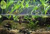 IMG_9818 (Laurent Lebois ©) Tags: laurentlebois france reptile rettile reptil рептилия tortue turtle tortoise tortuga tartaruga schildkröte черепаха chelonia sternotherus minor terrariophilie razorbackmuskturtle cinosterne installations aquarium aquaterrarium paludarium vivarium