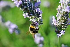 IMG_1217 (Gussyfinknottle) Tags: summer lavender lavanda lavande lavendel garden britain england outdoors nature bee ape biene abeille jardin garten giardino