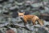 Fox on the Rocks (matthewschonert) Tags: red fox redfox montana wyoming beartooth highway mountains mountain rock rocks animal wildlife outdoor nature natur rain raining weather