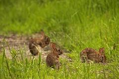 Perspective Study of Bunnies (Marietta Dooley) Tags: bunnies rabbit rabbits perspective landscape pennsylvania pennypack canon pennsylvaniawildlife easterncottontail pennypackecologicalrestorationtrust