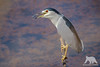 Night Heron (fascinationwildlife) Tags: animal bird water waterfowl night heron reiher nachtreiher pole wild wildlife nature natur national park india indien asia pond summer heat ranthambhore vogel birding