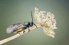 Wasp, Braconidae (dorolpi) Tags: sony a7r ii