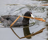 Coot playing pick up sticks (edmason88) Tags: coot pickupsticks nestbuilding reed tamron150600 strathconacounty alberta