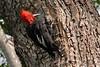 Magellanic Woodpecker (markus lilje) Tags: magellanicwoodpecker woodpecker campephilusmagellanicus markuslilje bird birds birding argentina tierradelfuego nature