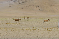 IMG_0351 (y.awanohara) Tags: tibet wildlife scenery ngari may2017 donkeys khyang tibetanwilddonkeys
