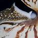 Nautilis (Nautilus belauensis)