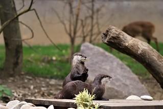 Les loutres qui prient - Otters priest