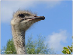 An Ostrich with No Name (Explored) (Nadine V.) Tags: schobbejakshoogte ostrichfarm struisvogelboerderij struisvogel ostrich vogel bird panasonic panasonicdmcfz200 lumix fz200 dmcfz200 aarsele tielt westvlaanderen explore