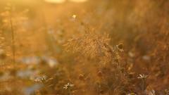 *** (pszcz9) Tags: przyroda nature natura zbliżenie closeup owad insect kwiat flower zachódsłońca sunset bokeh beautifulearth sony a77