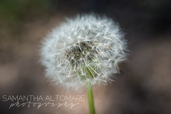 Flowers (Sam Altomare) Tags: garden flower bloom ohio pretty dandelion wish