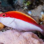 Freckled Hawkfish, subadult - Paracirrhites forsteri thumbnail