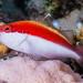 Freckled Hawkfish, subadult - Paracirrhites forsteri