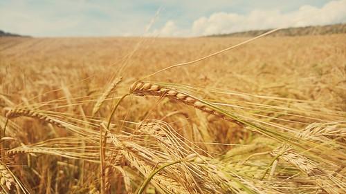 Fields of gold...