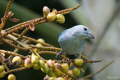 _DSC0569 (P2 New) Tags: 2016 animaux costarica date décembre jaco oiseaux passériformes tangara tangaraévèque thraupidae jacó provinciadepuntarenas
