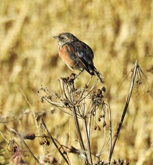 Stonechat and Cornfield - Cresswell (Gilli8888) Tags: northeast nature birds nikon p900 coolpix northumberland stonechat countryside cresswell cresswellponds cornfield field
