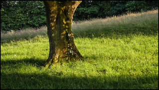 P1190282-1 - Sycamore Tree