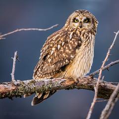Short-Eared Owl (mLichy911) Tags: owl shorteared owls nature wild wildlife portrait pnw wa seattle canon 7dmarkii 500f4 portait igotmyeyeonyou raptor fluffy bird