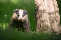 European Badger (Meles meles) (benstaceyphotography) Tags: mustelid beautiful creature animal evening 500f4vr 500mm d800e nature tree grass nikon eyecontact woodland scotland wildlife melesmeles badger mammal wild british uk