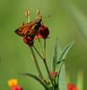 Zabulon Skipper, Butterfly Weed, Backyard, 08-06-2017_IMG_1496a (Nancy L Erickson) Tags: zabulonskipper skipper skippers butterfly butterflies pinehill nj butterflyweed wildflower