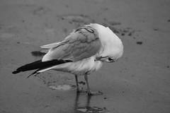 Seagull in B&W (Read2me) Tags: bird gull seagull beach bw cye ge storybookotr thechallengefactorywinner black white sand pregamewinner