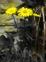 Daisy Grey (Steve Taylor (Photography)) Tags: art digital yellow grey brown selectivecolour uk gb england greatbritain unitedkingdom london plant flower daisy leaves