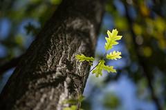 small beginnings (Marc McDermott) Tags: oak black tree green summer nature shallow depth field ef 135mm f2l usm trunk sky leaves new branch illuminated shadow ef135mmf2lusm