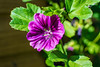 Testing the 35mm Prime... (smifyyy) Tags: 35mm flowers purple garden green plants nature life wild wildlife greenfingers planting soil compost definition focus newlens lens prime greenery