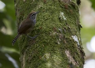 Pheugopedius maculipectus / Spot-breasted Wren