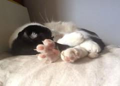 Namasté, stretching his right foot  :-) (Dona Minúcia) Tags: art animal cat relax foot cute arte gato espreguiçando pé fofo gracinha stretching friend amigo bud companheiro
