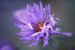 dance like no ones watching (s@ssyl@ssy) Tags: lensbaby sweet50 macroconverters purple weed