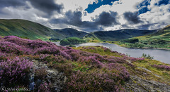 Heather with Haweswater in the distance. (steve.gombocz) Tags: nikon nikonusers nikond810 nikoneurope nikoncamera nikonfx nikon140240mmf28 sceneryshooting simplylandscapes cumbria westcumbria colour colours color colourmania natureisbeautiful lakedistrict out outandabout outdoors landscapephotos landscapephotography landscapephotographs water lakes scenery reservoirs landscapescenes mountains hills fells crags haweswater nature natureviews lakescenes heather flowers landscapepictures nicepictures nicelandscapes flickrlandscapes flickrscenery explorelandscapes explorescenery explorelakes