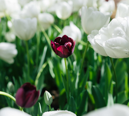 Goth tulip
