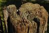 Alter Weidezaun-Pfahl; Bergenhusen, Stapelholm (14) (Chironius) Tags: stapelholm bergenhusen schleswigholstein deutschland germany allemagne alemania germania германия niemcy holz wood legno madera bois hout landwirtschaft