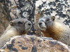 P1230708 (archaeologist_d) Tags: rockymountainnationalpark colorado estespark oldfallriverroad marmots