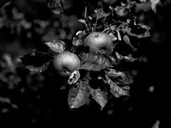 Fruits d'été (CaroDiario) Tags: fruits été summer arbre pommier pommes apples appletree noiretblanc bw blackwhite campagne countryside panasonicdcgh5 lumixg425mmf17